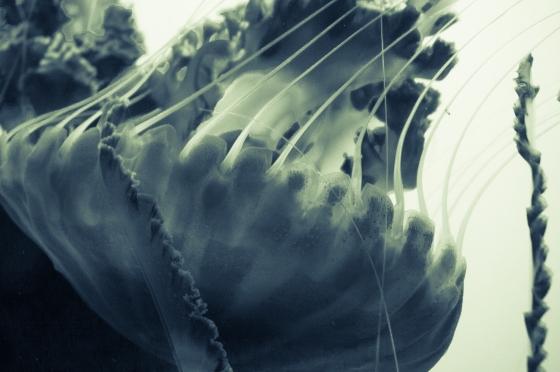 Xray Jellyfish